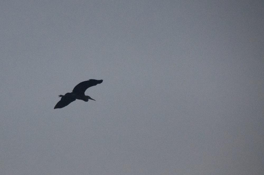 Great Blue Heron (Ardea herodias) Takes Flight, Stuart Island, Washington, US