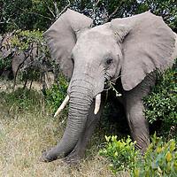 Africa, Kenya, Nanyuki. Elephant at Sweetwaters Game Reserve in the Ol Pejeta Conservancy.