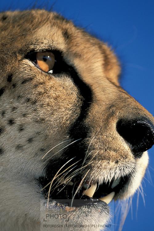 Scenes at the Cheetah Conservation Fund CCF, Otjiwarongo, Namibia
