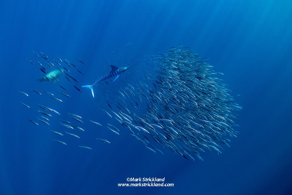 A school of Pacific Mackerel, Scomber japonicus, try to evade predators such as this striped marlin, Tetrapturus audax, and  California sea lion, Zalophus californianus. Magdalena Bay, Mexico, Pacific Ocean