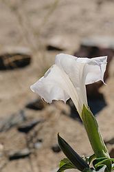 Grootbloemige doornappel, Datura innoxia