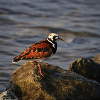 An adult ruddy turnstone (Arenaria interpres) sits on a rock in Mispillion Harbor, Slaughter Beach, Delaware.  Turnstones stopover in Delaware Bay to fuel up on horseshoe crab eggs during their northward migration.