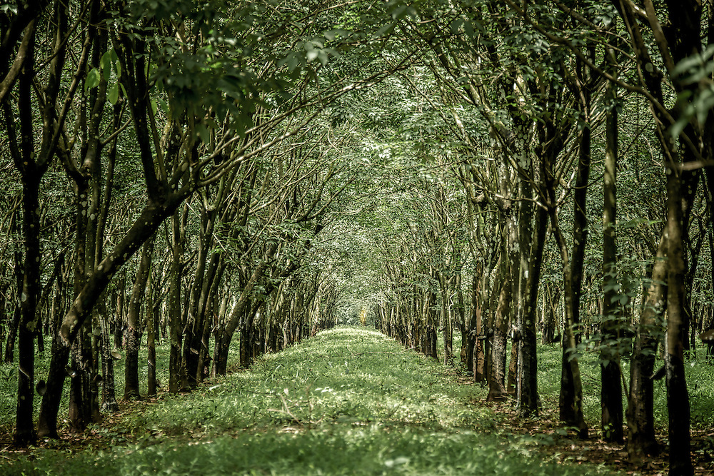 Rows of rubber trees in a producing plantation in Cambodia