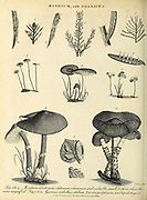 Various examples of Aecidium [rust fungi] and Agaricus [edible and poisonous mushrooms] Copperplate engraving From the Encyclopaedia Londinensis or, Universal dictionary of arts, sciences, and literature; Volume I;  Edited by Wilkes, John. Published in London in 1810