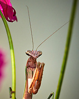Praying Mantis hainging out. Image taken with a Nikon D850 camera and 200-500 mm VR lens.