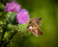 Silver-spotted Skipper Butterfly on a Thistle Flower at the Sourland Mountain Preserve. Summer Nature in New Jersey. Image taken with a Nikon 1 V3 camera and 70-300 mm VR lens