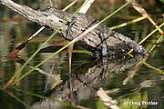 baby Morelet's crocodile, Belize crocodile, or Central American crocodile, Crocodylus moreletii, sunning itself on a branch in Cabbage Hole Creek, Stann Creek District, Belize, Central America