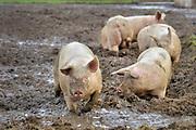 Nederland, Zeddam, 15-12-2018Op een biologische varkenshouderij, boerderij, lopen de dieren constant buiten en wroeten in de modder.Foto: Flip Franssen