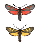 Five-spot Burnet - Zygaena trifolii<br /> top= normal form<br /> bottom = unusual yellow form<br /> 54.010 BF170