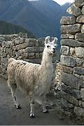 Llamas.Machu Picchu, Peru