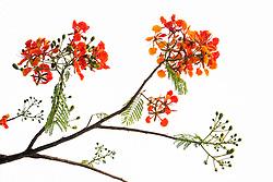 Royal Poinciana Tree Delonix Regia #22