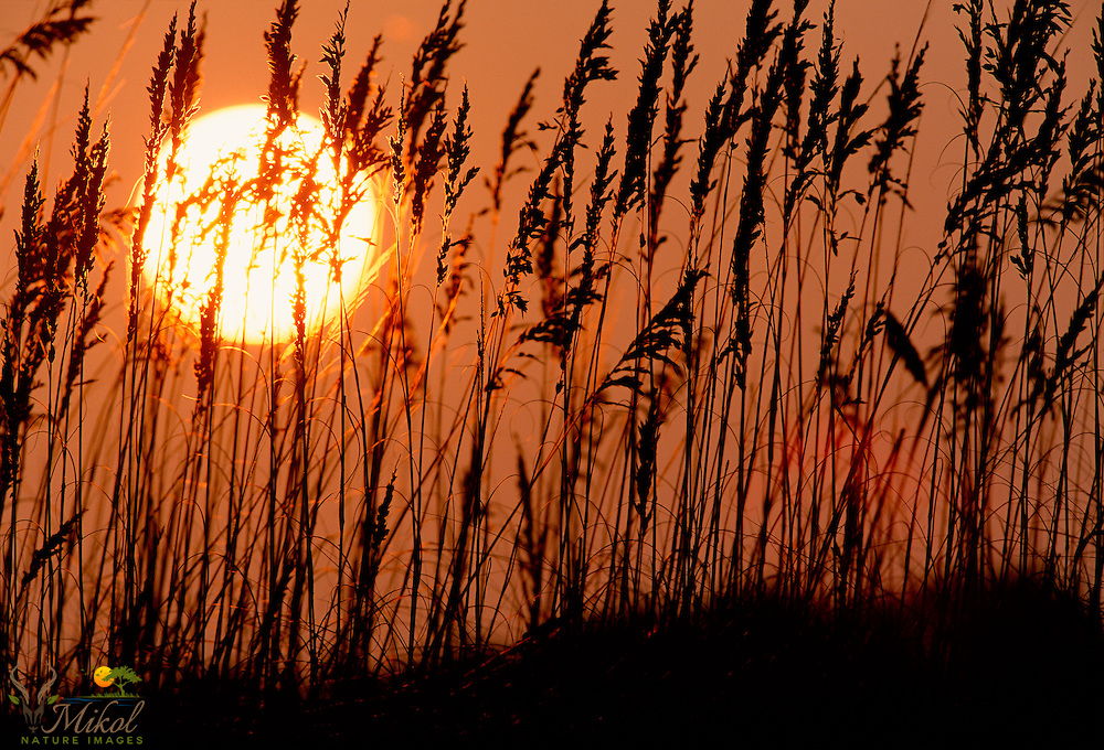 Flaring sun at sunset causing silhouette of seat oats and dunes. Sun Flare. Fringe lighting