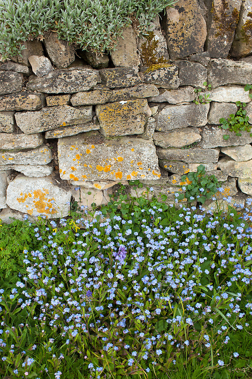 Forget-Me-Not, Myosotis arvensis, wildflowers and bluebells by drystone wall  in springtime in Swinbrook in the Cotswolds, UK