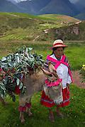 Quechua woman, Donkey, Sacred Valley, Cusco Region, Urubamba Province, Machupicchu District, Peru
