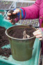Potting up dahlia tubers in early spring to start them back into growth.