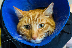 """""""Angus"""" the ginger tom cat who was discovered impaled on three steel fence spikes in North London continues to recover at the RSPCA's Harmsworth Animal Hospital in north London, following lifesaving surgery to remove the 20mm thick spikes from his body. PICTURED: 'Angus is wearing a 'buster collar' to prevent him from interfering with his wounds. London, March 14 2018."""