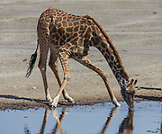 A giraffe drinks from a waterhole in east Africa