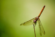 A dragonfly perched on the end of a stick, Macro shot in India