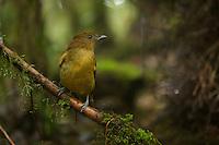 Yellow-fronted Bowerbird (Amblyornis flavifrons) female visiting a bower.
