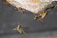 Saxon Wasp - Dolichovespula saxonica