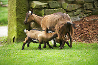 nanny goat suckling her young kid
