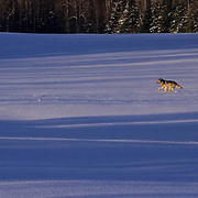 Gray Wolf, (Canis lupus) Running across field. Winter. Midwest. Captive Animal.