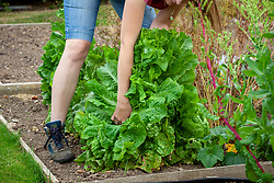 Removing lettuces that have bolted