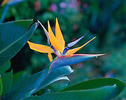 Bird of Paradise, Strelitzia Reginae, Hawaii, USA<br />