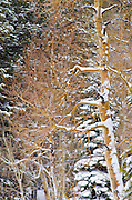 Fresh powder on bare aspens and pines, Ansel Adams Wilderness, Sierra Nevada Mountains, California USA