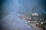 A horse is eating on the ride side of a road in the fog in a blue light in Sapa surroundings, Lao Cai province, North Vietnam.