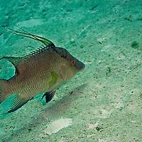 Hogfish, Intermediate, Lachnolaimus maximus, Grand Cayman