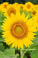 63801-11303 Sunflower in field Jasper Co.  IL