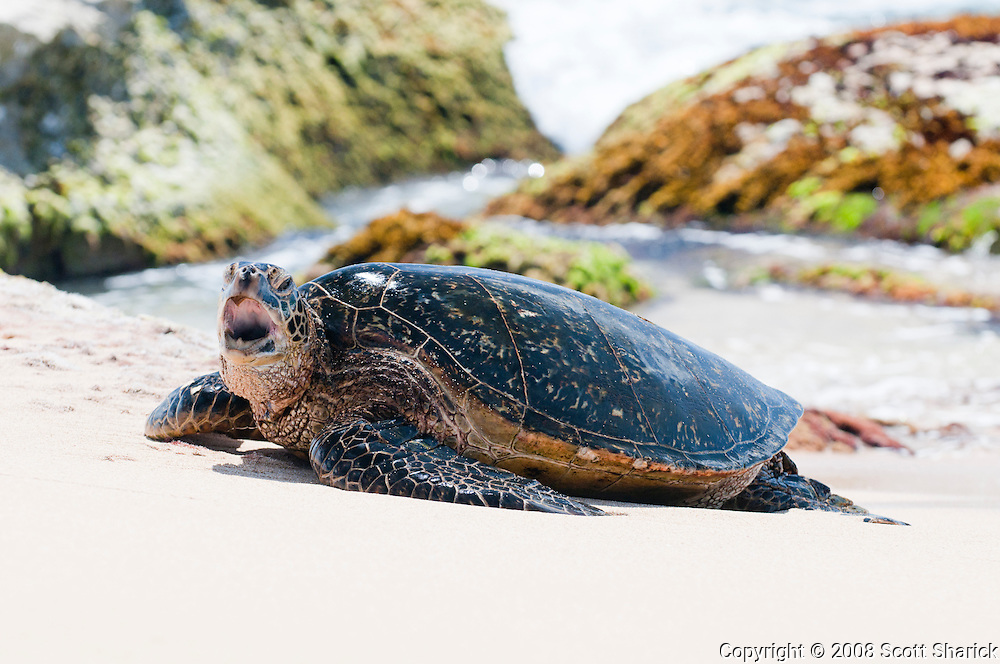 A Hawaiian Green Sea Turtle lifts its head and opens its mouth in front of a rocky background.