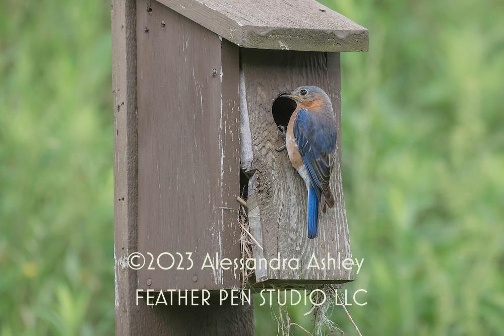 Eastern bluebird (Sialia sialis) perched outside nesting box at nature preserve, NE Ohio.