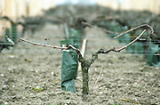 Guyot pruned vines in the vineyard. Sand. Margaux. Medoc, Bordeaux, France