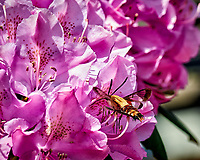 Snowberry Clearwing Moth on a Rhododendron Flower. Image taken with a Nikon D800 camera and 105 mm f/2.8 macro lens (ISO 640, 105 mm, f/8, 1/1000 sec).