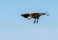 Ruppell's Griffon Vulture, Gyps rueppellii, landing at a cheetah kill in Serengeti National Park, Tanzania