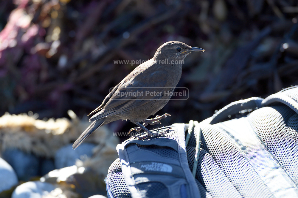 A bird stands on a backpack on Carcass Island on Sunday 4th February 2018.