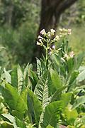 Tobacco plant, Pokutenna, Sri Lanka