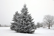 Frozen fog crystalizes on trees.