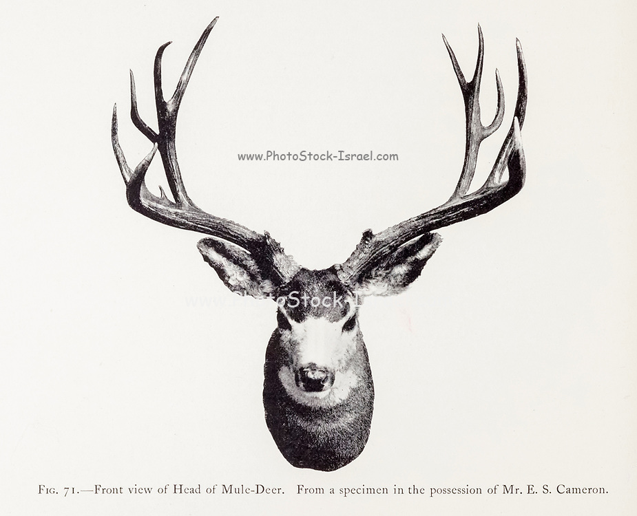 The mule deer (Odocoileus hemionus) is a deer indigenous to western North America; it is named for its ears, which are large like those of the mule. from the book ' The deer of all lands : a history of the family Cervidae, living and extinct ' by Richard Lydekker, Published in London by Ward 1898