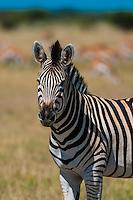 Zebra, Nxai Pan National Park, Botswana.