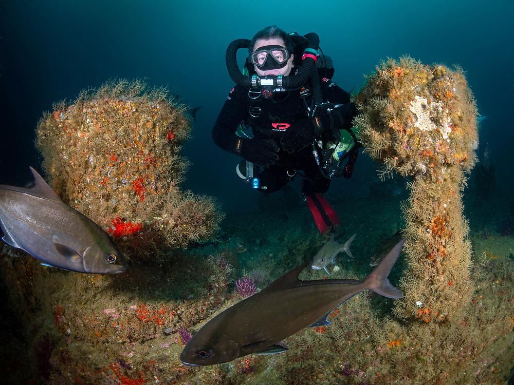 Black sea bass and a KISS rebreather scuba diver on the Aeolus shipwreck  in North Carolina, USA