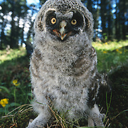 Great Gray Owl (Strix nebulosa) fledgling out of the nest. Montana
