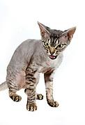 Rexiru Platinum Lady (pet name: Fifi)<br /> breed: devon rex