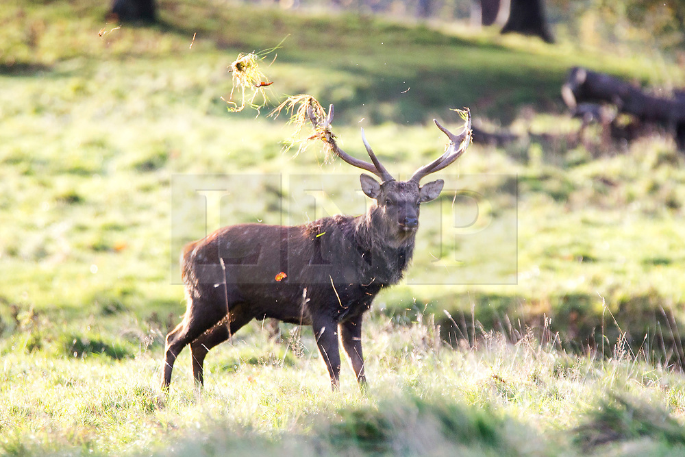 © Licensed to London News Pictures. 30/10/2017. Ripon UK. A stag tosses grass up with it's antlers at Studley Royal park on the Fountains Abbey estate near Ripon at sunrise this morning. Photo credit: Andrew McCaren/LNP