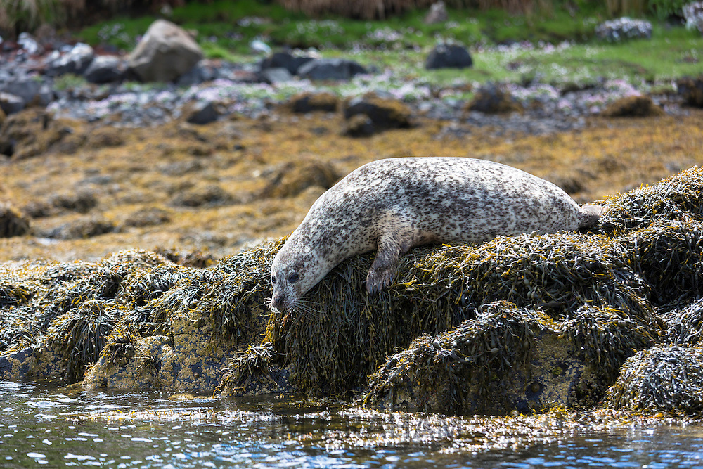 Common Seal or Harbour Seal, Phoca vitulina, adult about to dive for fish in Dunvegan Loch, Isle of Skye, Western Scotland