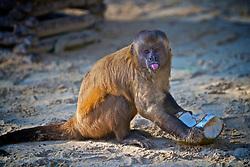 Macaco prego se alimenta no Parque Nacional dos Lençóis Maranhenses é um parque nacional brasileiro criado em 2 de junho de 1981 numa área de 155 mil hectares nas margens do Rio Preguiças, no nordeste do estado do Maranhão e distante cerca de 260 km de São Luís, ocupando uma área total de 270 quilômetros quadrados, com dunas de até 40 metros e lagoas de água doce. FOTO: Lucas Uebel/Preview.com