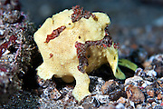 Painted Frogfish (Antennarius pictus) Cream Phase- Indonesia..Frogfish are lie & wait carnivorous predators.  They have an appendage above their head which is waved about to attract prospective prey.  All frogfish have large mouths are are capable of swallowing prey to their own size.  Rather than swim above the bottom, they walk along the substrate using their pectoral fins.  Frogfish inhabit reef areas to a depth 73 m.  Often within one species there will be several different colour variations or phases; brown, black, yellow, white, yellow, red and orange being the most common.  Some species have hairy variations and maybe covered in numerous small wart-like knobs.  Frogfish have been known to mimic the colours of the surrounding terrain (ie sponges & ascidians).  Variable size depending species.   Length 2 - 30 cm