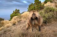 Ein Dschelada-Männchen (Theropithecus gelada) droht einem Nebenbuhler, Simien Nationalpark, Debark, Region Amhara, Äthiopien<br /> <br /> Gelada (Theropithecus gelada) threatens a rival, Simien National Park, Debark, Amhara Region, Ethiopia